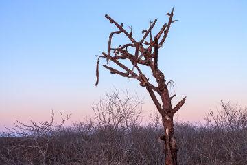 Vegetação caducifólia da Caatinga, que perde as suas folhas no período da seca