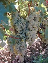 A uva é uma das principais culturas desenvolvidas na Argentina, grande parte da produção é destinada à fabricação de vinhos.