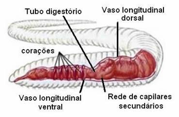 Esquema da anatomia interna de um anelídeo, evidenciando um segmento do sistema digestivo e circulatório.