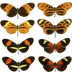 Mimetismo em borboletas