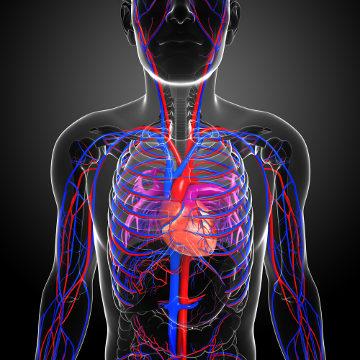 O entendimento da circulação sanguínea foi importante para o desenvolvimento da fisiologia