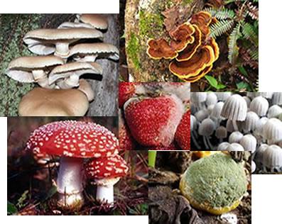 Os principais representantes dos fungos são os bolores, as orelhas-de-pau e as leveduras