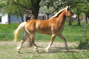 Cavalo: um animal domesticado há milhares de anos.
