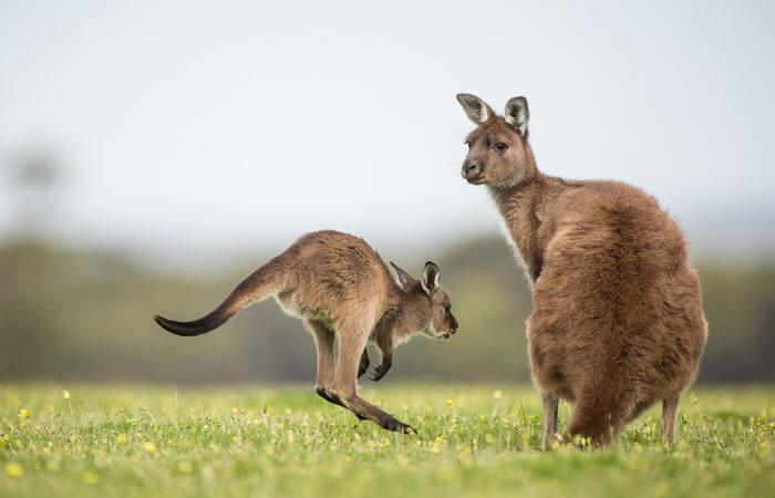 Os cangurus são animais mamíferos do grupo dos marsupiais.
