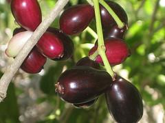 O fruto do jamelão assemelha-se à azeitona preta.