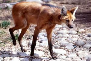 Lobo-guará: uma das espécies que simbolizam o Cerrado brasileiro.