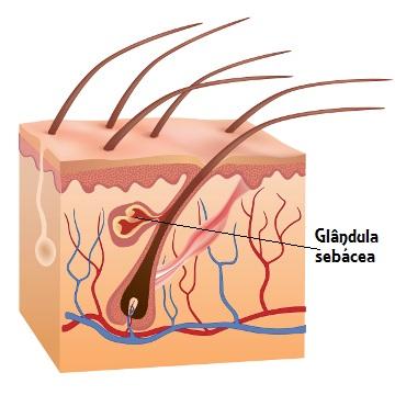 A glândula sebácea é responsável pela produção de uma substância rica em lipídios