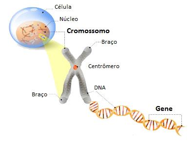 Os genes são porções de DNA contidas nos cromossomos