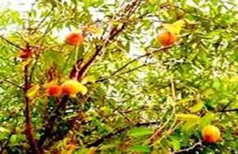 As folhas, a casca e as raízes da mangabeira são muito utilizadas na medicina popular
