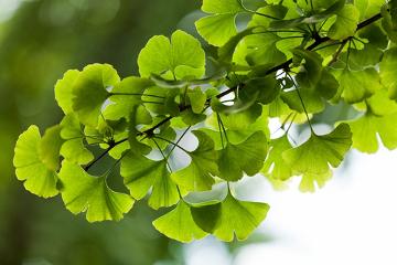 O Ginkgo biloba se caracteriza por apresentar folhas em formato de leque.