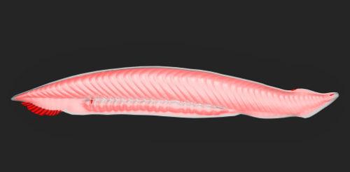 O anfioxo pertence ao grupo dos Cephalochordata