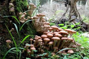 """""""Cogumelo do mel"""" da Floresta Nacional de Malheur, EUA: o maior ser vivo do planeta"""
