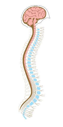 O sistema nervoso central é formado pelo encéfalo e medula espinhal