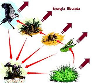 Observe que parte da energia é perdida em cada nível trófico