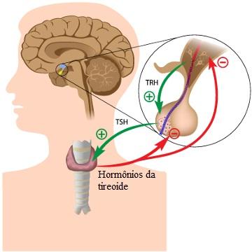 O TSH estimula a produção de hormônios tireoidianos. O aumento do nível desses hormônios no sangue faz com que a produção de TSH seja inibida
