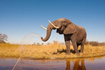 O elefante africano é considerado vulnerável pela Lista Vermelha da IUCN