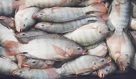 Aminas são produzidas na decomposição de peixes.