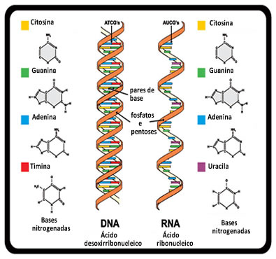 O RNA é formado a partir de uma fita da molécula de DNA