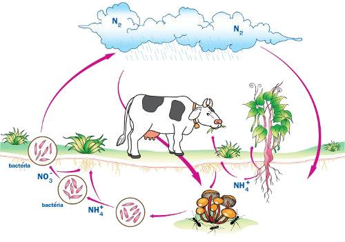 Observe atentamente o esquema que representa o ciclo do nitrogênio