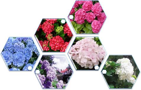 As cores das hortênsias são determinadas pela acidez do solo em que são plantadas