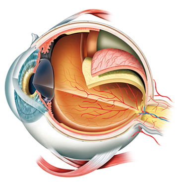 Esquema do olho humano