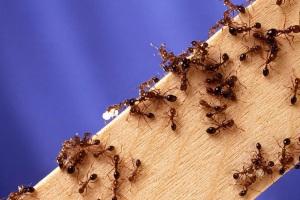 Formigas-de-fogo (Solenopsis invicta).