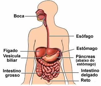 Órgãos do aparelho digestório humano.