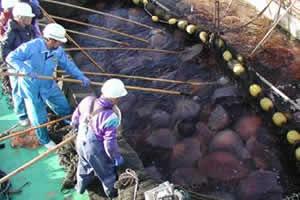 No Japão, as águas-vivas vêm comprometendo a pesca