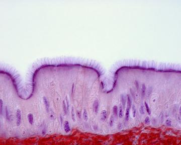 A figura mostra um tecido epitelial pseudoestratificado do trato respiratório