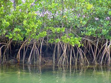 Exemplo de uma área de manguezal