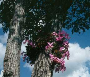 Orquídeas (plantas epífitas), um exemplo de inquilinismo vegetal.
