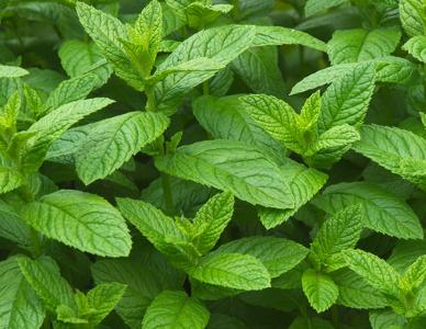 A menta é uma planta de sabor suave, muito usada para fazer temperos, balas e outras guloseimas