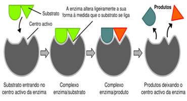 O mecanismo de ação enzimática.