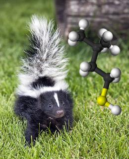 O 3-metilbutan-1-tiol está no líquido que o cangambá utiliza como arma de defesa. Esse é um exemplo do odor desagradável que os tiocompostos possuem!