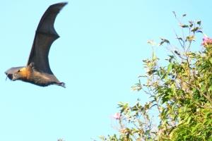 Morcego-raposa (Pteropus vampyrus): maior morcego do mundo, alcançando dois metros de envergadura. Apesar do nome e do tamanho, é uma espécie i