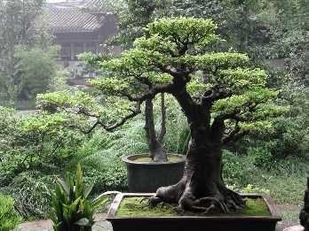 O bonsai faz parte da cultura brasileira.