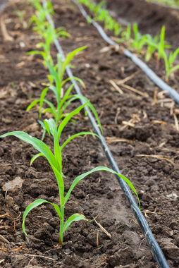 Mangueiras de gotejamento em uma lavoura de milho