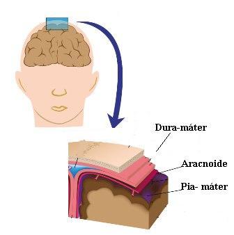 Observe a disposição das meninges, as três membranas que envolvem o sistema nervoso central