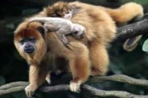 Filhotes de bugios são carregados nas costas da mãe, por até dois anos.