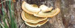 Orelha-de-pau: representante do Reino Fungi