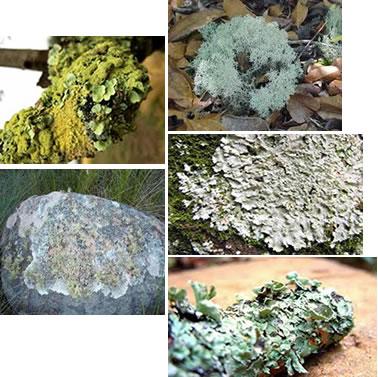 Os liquens são organismos muito simples que conseguem sobreviver em vários ambientes