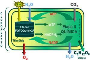 Processos que compreendem a fotossíntese.