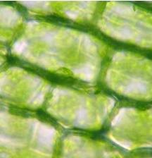 Cloroplastos em células vegetais.