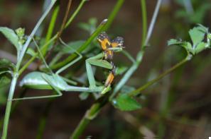 Insetos: louva-a-deus predando uma borboleta. Fotografia: Fabrício Oda.