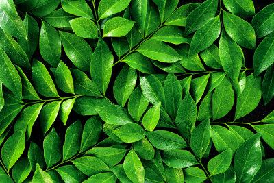 As folhas geralmente são verdes e desempenham importante papel na fotossíntese