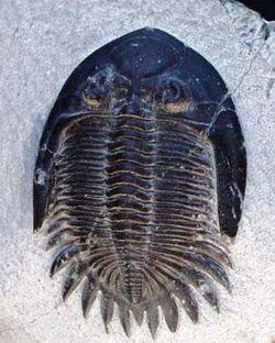 Uma das primeiras formas de vida, os Trilobitas