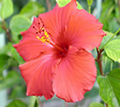 Flor de Hibisco: indicador ácido-base