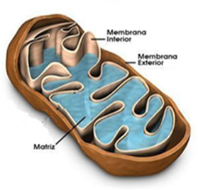 A composição membranosa de uma mitocôndria.