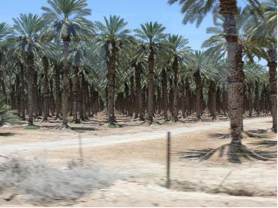 Plantação de tâmaras no Oriente Médio