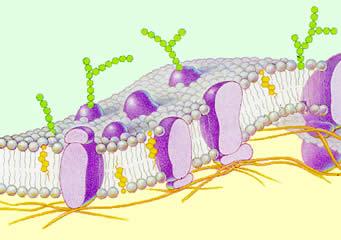Esquema da bicamada fosfolipídica (modelo de mosaico fluido).